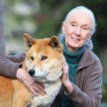 Goodall - pioneering woman primatologist