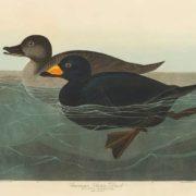 Scoter Duck