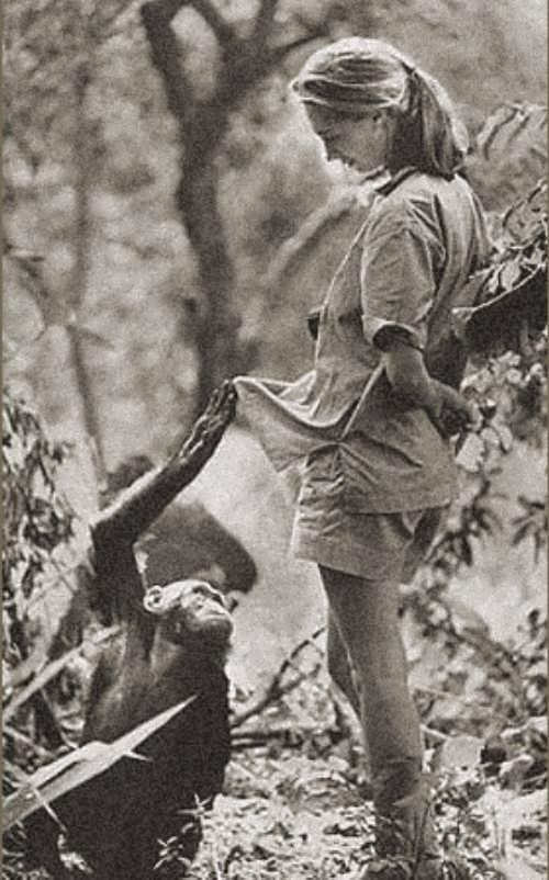 Jane Goodall watches chimpanzees in Kenya