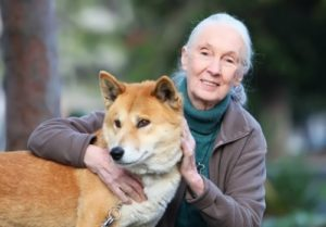 Goodall - pioneering woman primatologist