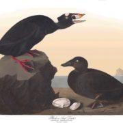 Black, or Surf Duck