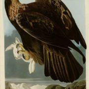 Goldon Eagle cropped