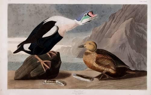 King Duck