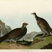 Long-tailed or Dusky Grous