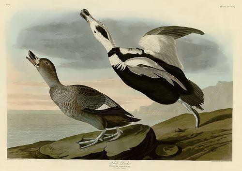 Pied Duck