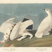 Ptarmigan and White-tailed Grous