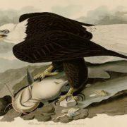 White-headed Eagle